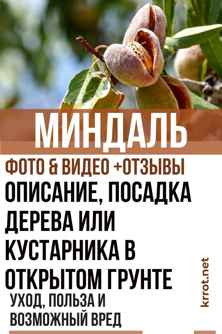 Посадка и выращивание миндаля из косточки