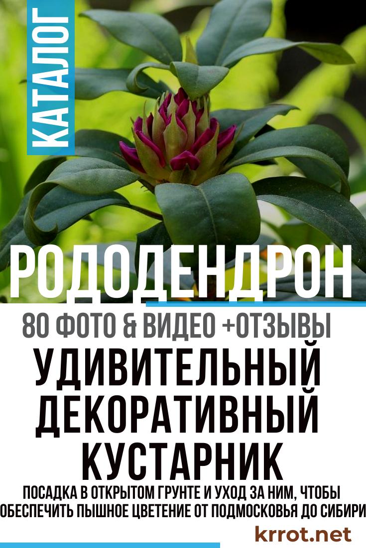 Как вырастить рододендрон катевбинский грандифлорум
