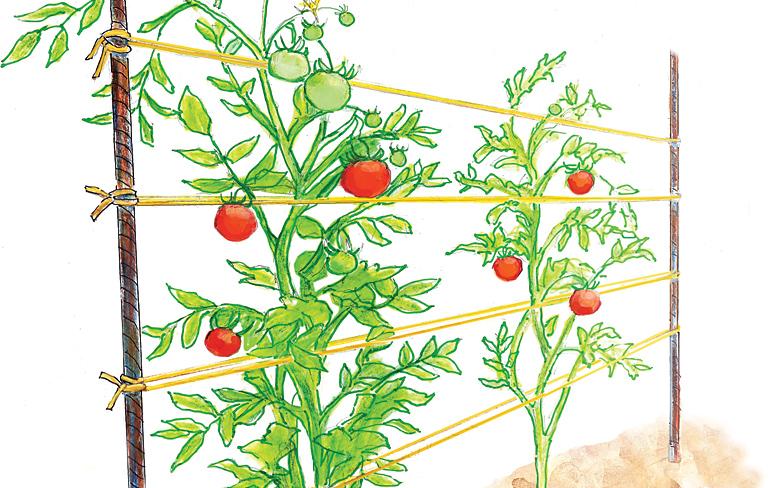 Линейная подвязка томатов