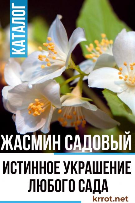 Жасмин садовый. Ниже опишем самые популярные виды пушистого растения.