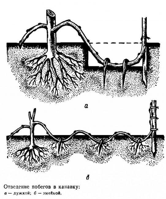 По этому принципу отводками размножаются все растения