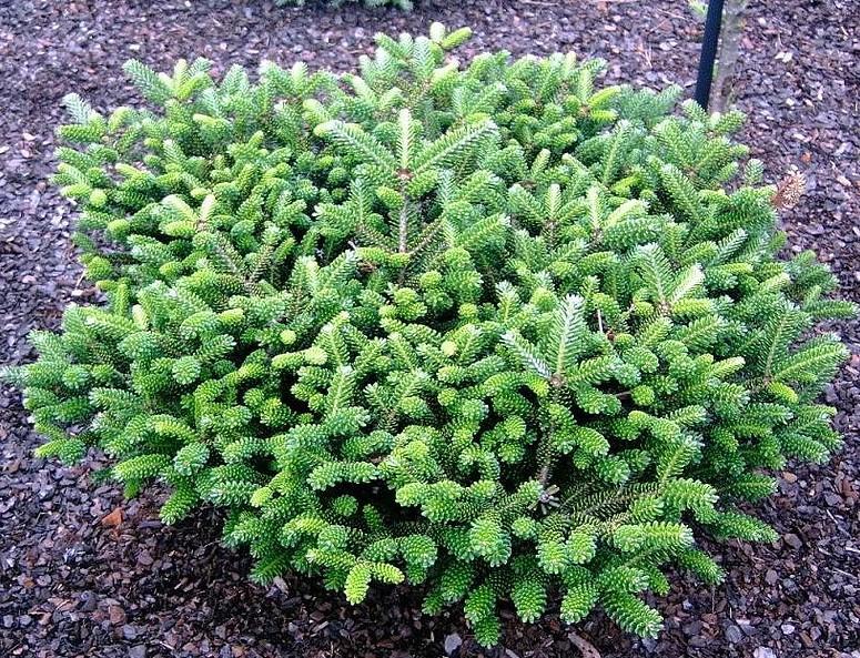brevifolia