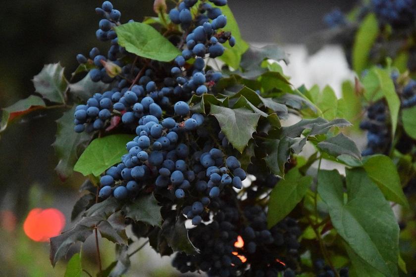 Магония падуболистная - посадка семенами и грамотный уход