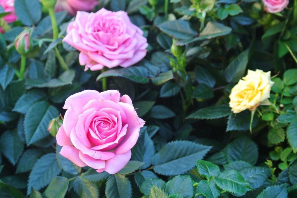 Агротехника является самым важным условием для выращивания роз, а также для сохранения их саженцев в любой период времени.