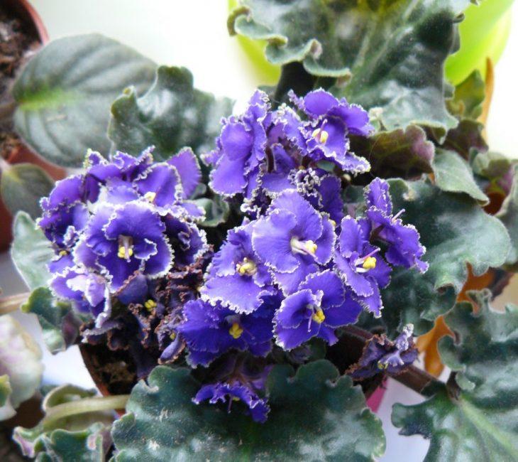 цветы голубого цвета. узамбарская фиалка