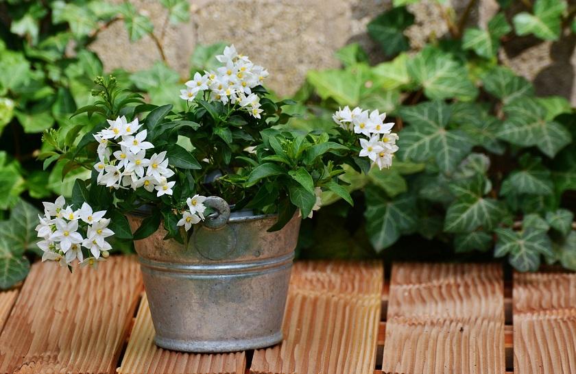 Жасмин цветок кустарник