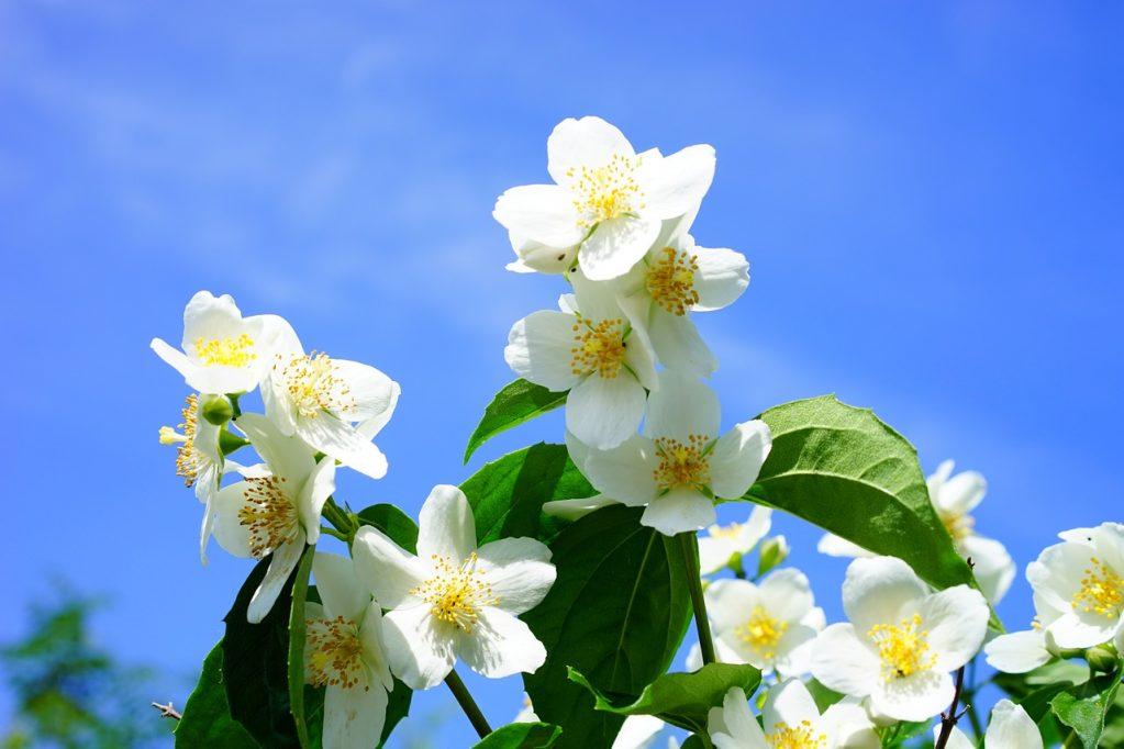Чем чубушник отличается от жасмина? 26 фото В чем разница между кустарниками? Чем они похожи? Как отличить чубушник от садового жасмина?