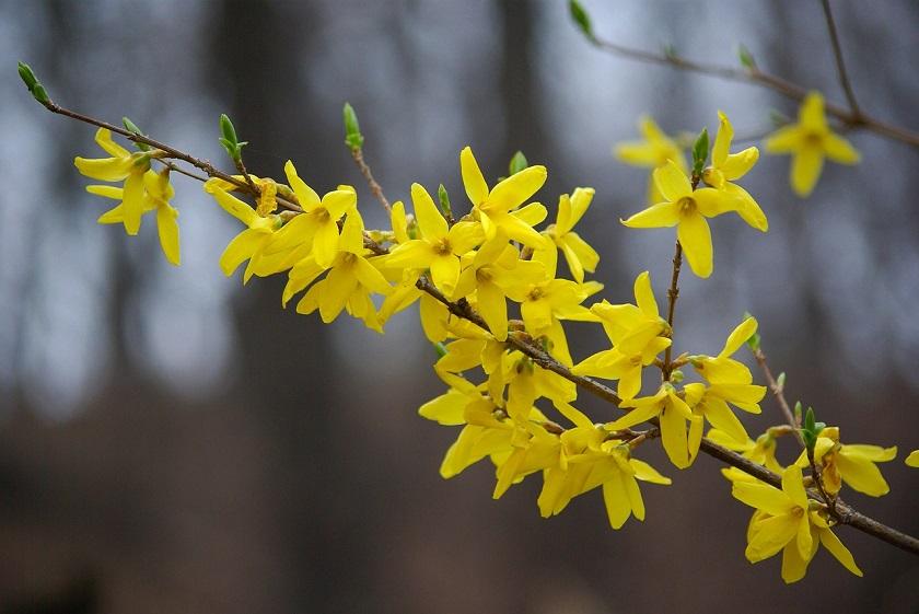 Желтый куст форзиция