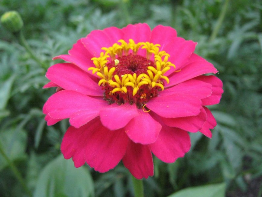 Георгиноцветковая цинния
