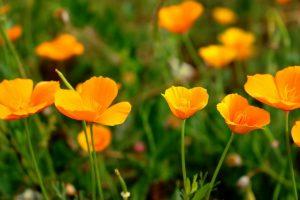 Эшшольция: описание, виды, выращивание из семян, посадка в открытый грунт, уход (80+Фото & Видео) +Отзывы