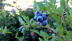 Выращивание черники в саду: секреты посадки в открытом грунте, размножения и ухода (20 Фото & Видео) +Отзывы