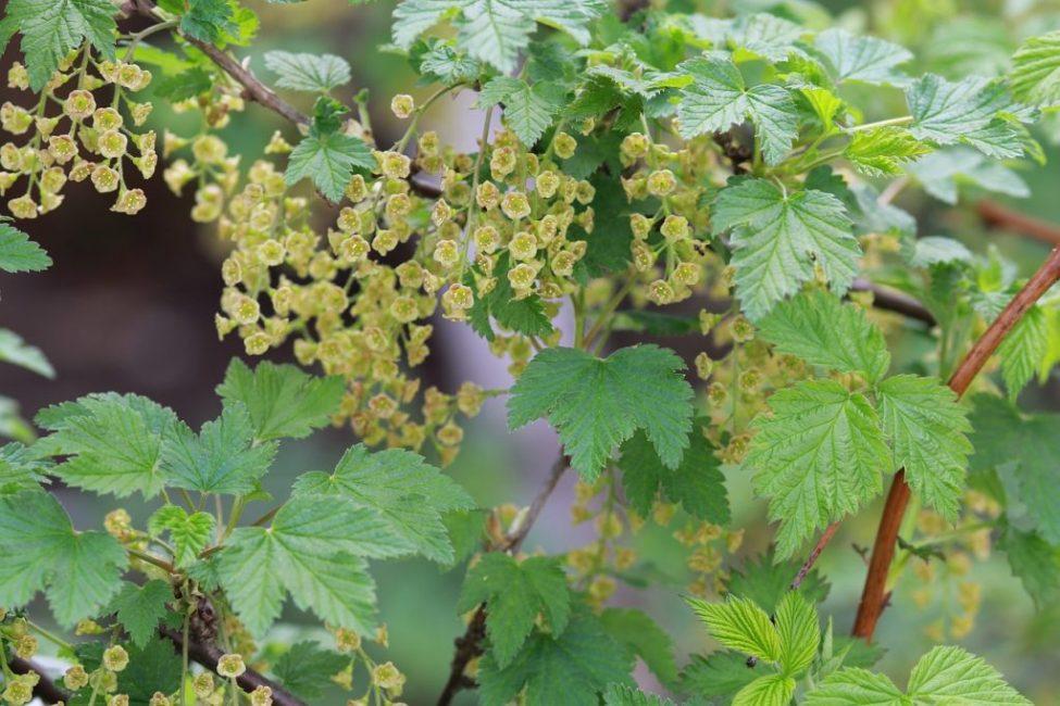 Цветок смородины