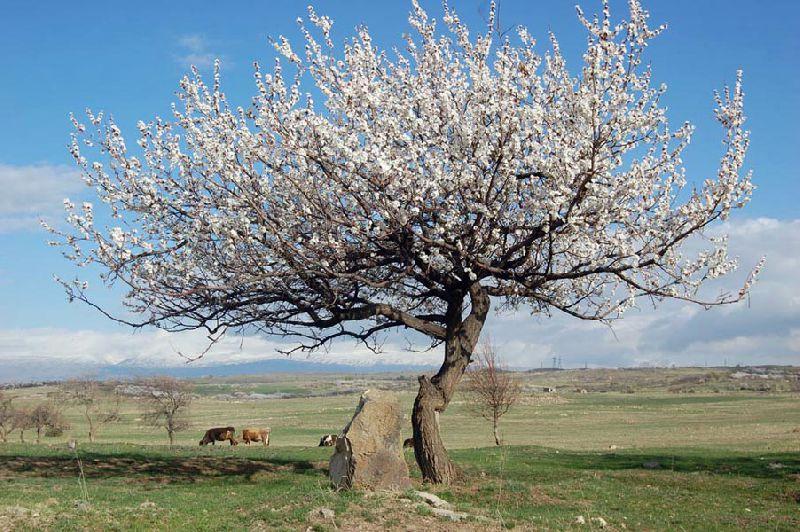 Абрикос во время цветения