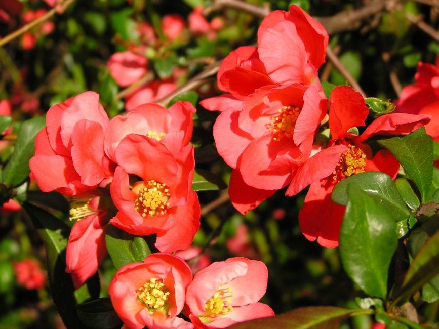 Айва в цветении