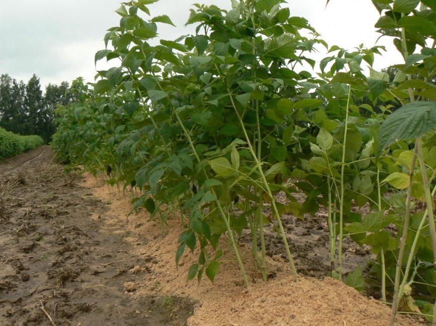 Аэрация грунта – один из важных агроприёмов для улучшения урожайности