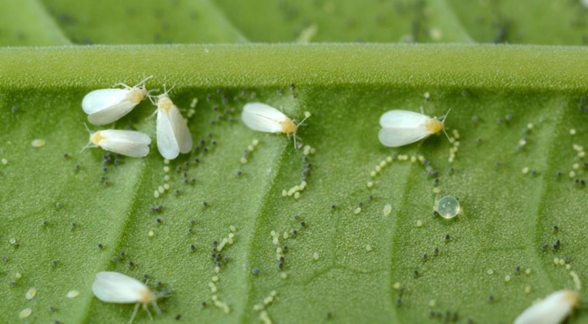 Бабочки белокрылки на нижней части листа