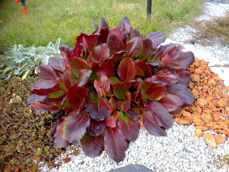 Бадан всегда будет выделяться среди других растений в саду