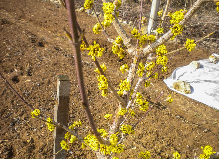 Цветущий кизил в возрасте 5 лет