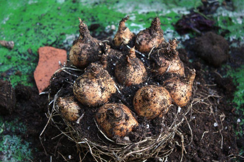 Выкапывать луковицы можно не только для размножения или пересадки, но и для зимнего хранения