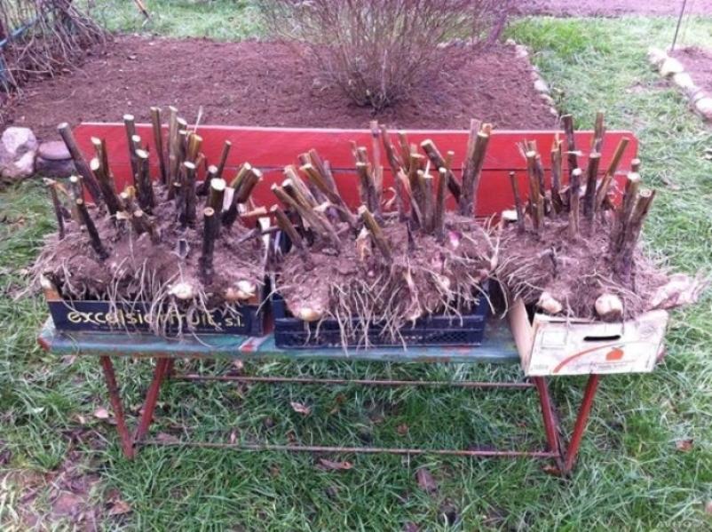 Выкопанные корневища перед хранением