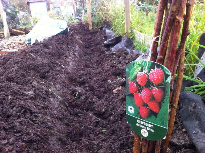 Высадка малины в специально подготовленные траншеи – один методов повышения урожайности растения