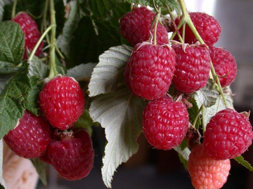 Геракл – один самых урожайных сортов летней ягоды