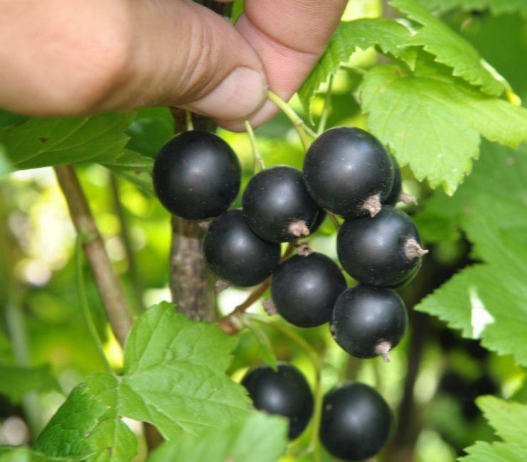 Дачница даёт небольшой урожай, но ягоды сладкие и крупные
