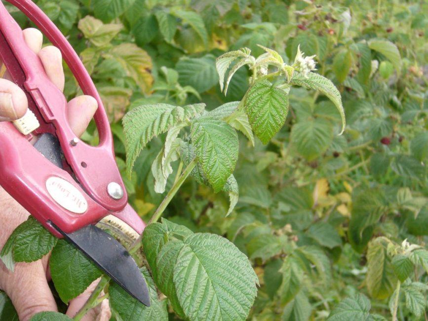 Двойная обрезка по методу Соболева позволяет повысить урожайность ягоды в 2 раза