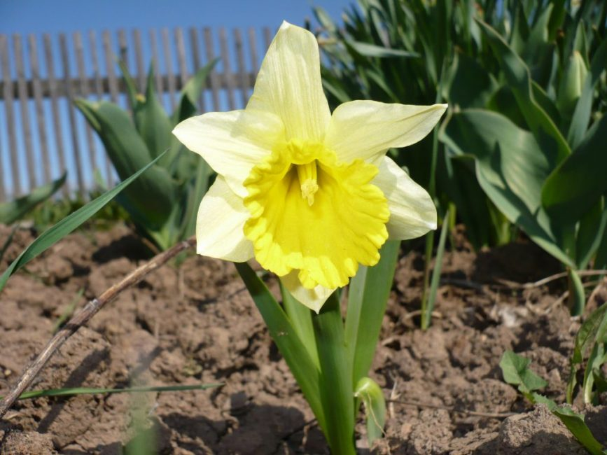 Для посадки растения лучше выбирать рыхлую почву, обеспечив хороший дренаж