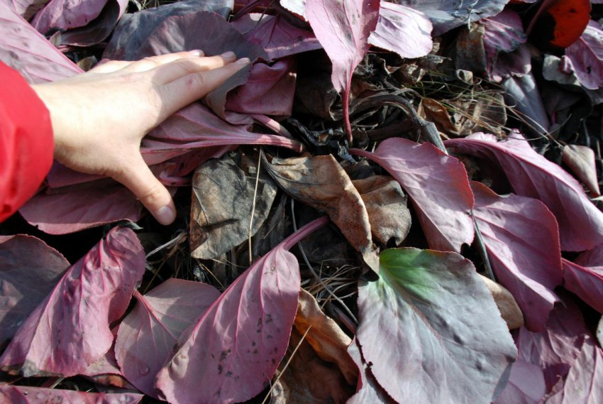 Засохшие листья бадана