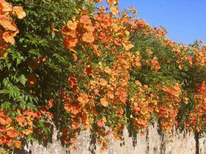Кампсис - растение неприхотливое