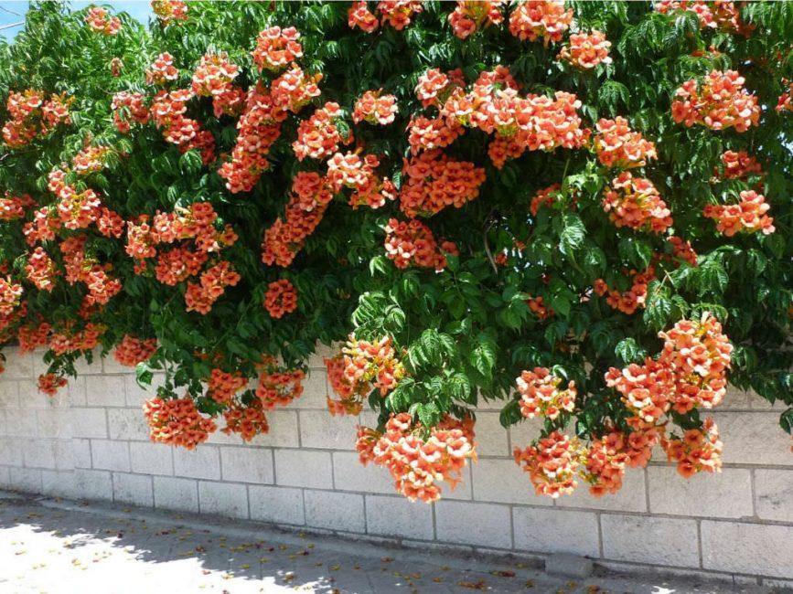 Кампсис относится к теплолюбивым растениям