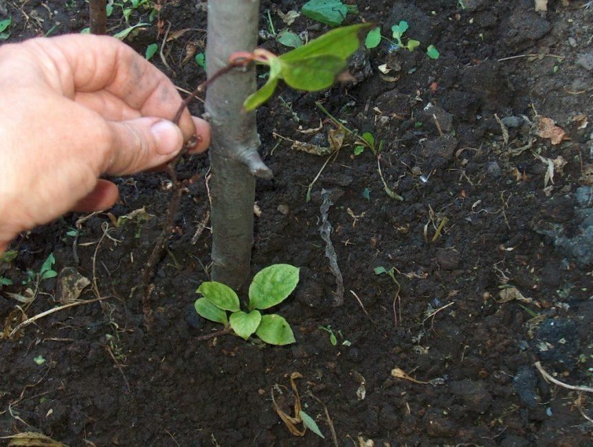 Выращивание размножением корней