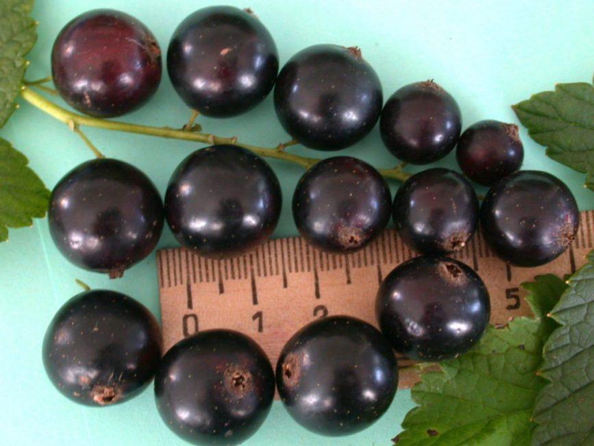 Крупноплодные сорта – Ядрёная, Пигмей, Добрыня, Селеченская, Обыкновенное чудо – дают урожай ягод около 2 см в диаметре