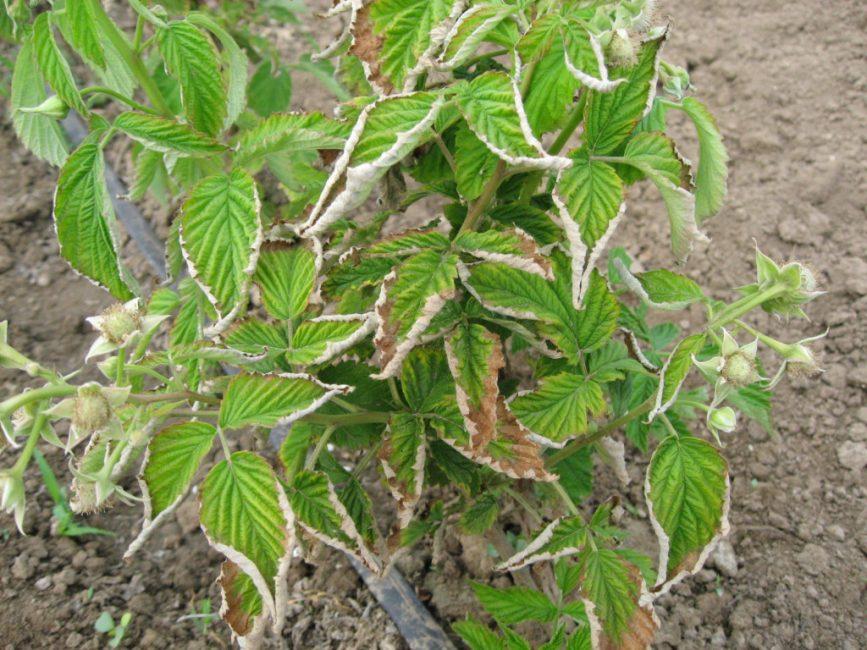 Курчавость поражает листья кустарника и снижает урожайность