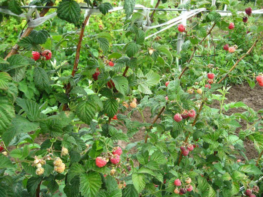 Лето – период активного плодоношения ягоды