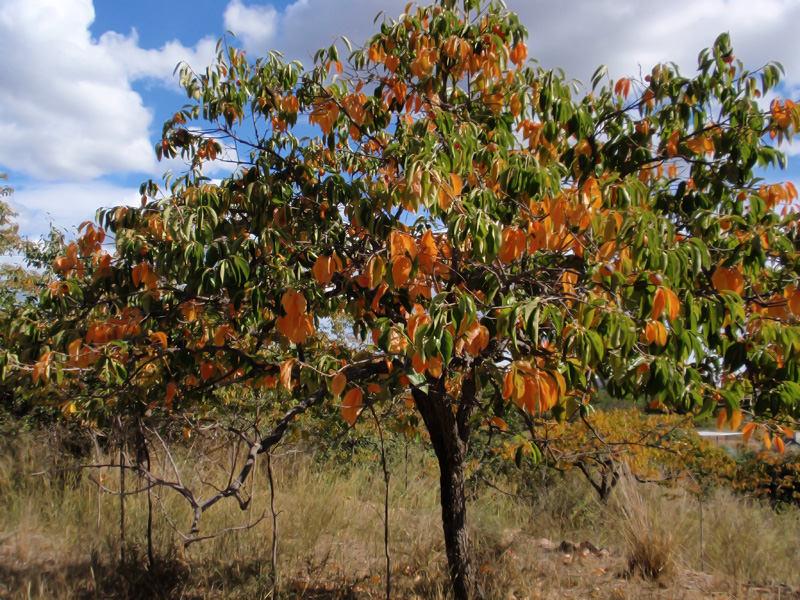 Листва растения в начале осени. Заметно частичное изменение цвета листьев