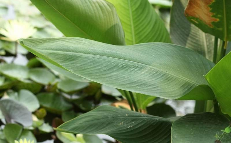 Листья канны