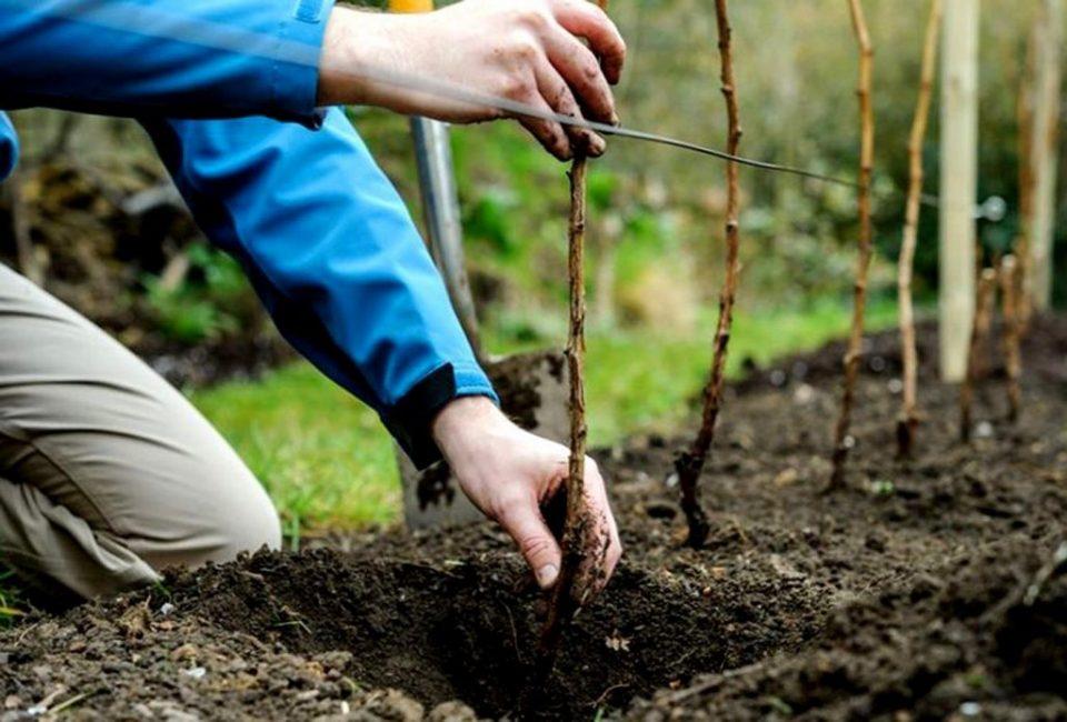 Молодые саженцы нужно подвязывать к шпалере для того, чтобы ветки не сгибались под тяжестью плодов
