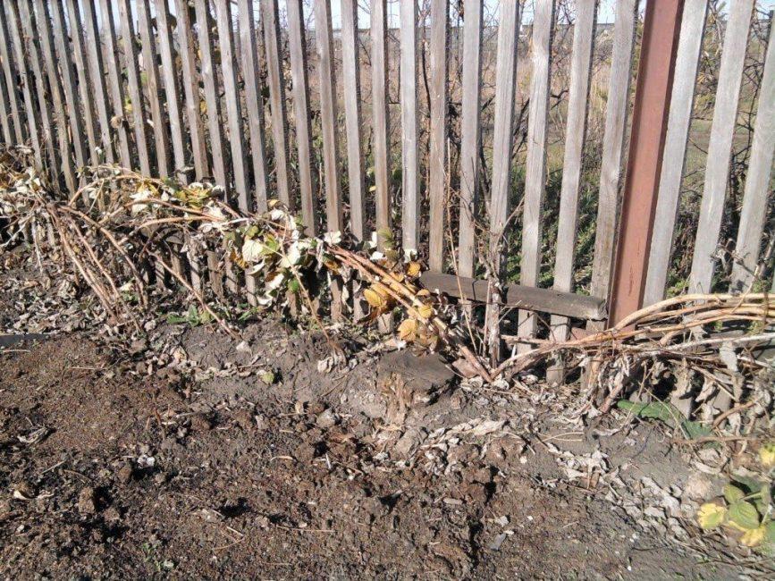 На зиму побеги пригибают к земле, затем укрывают лапником, нетканым материалом или брезентом