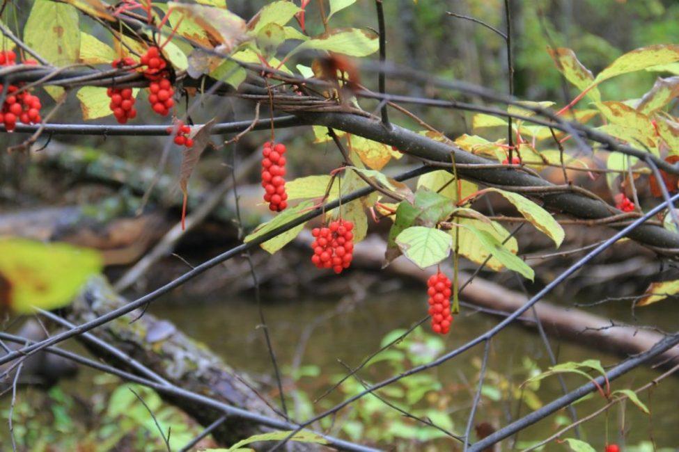 Старые и поврежденнные ветки в течении сезона несколько раз удаляются