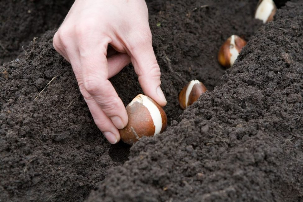 Обычно луковицы растения пересаживают на новое место осенью