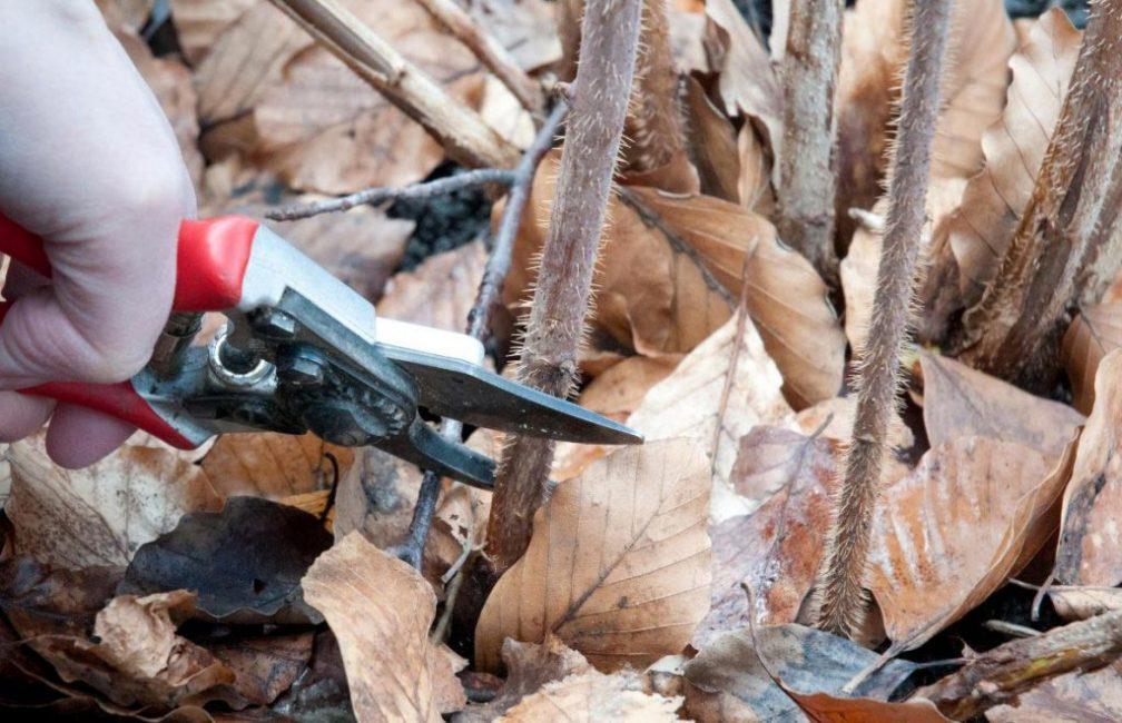 Осенняя обрезка проводится перед укрытием кустарника на зиму