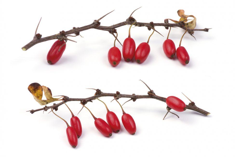Острые колючки и спелые плоды
