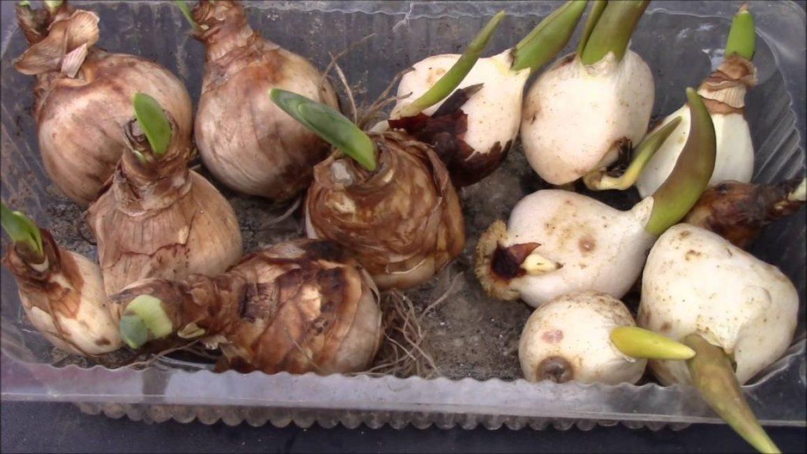 Перед посадкой в открытый грунт луковицы нужно предварительно протравить или опрыскать химическими препаратами против вредителей
