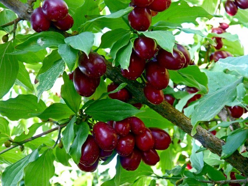 Плоды кизила красного цвета