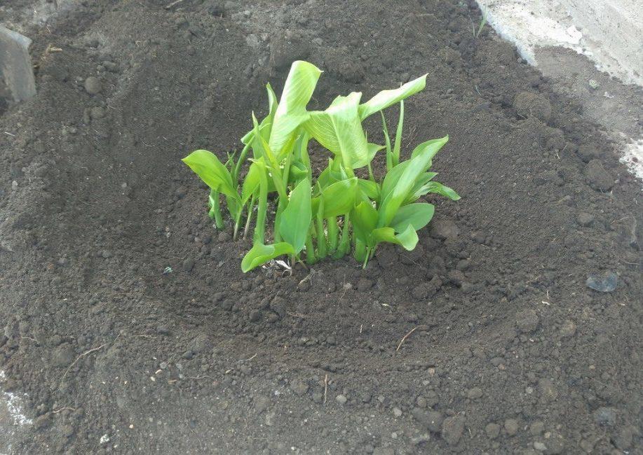 Посадка растения весной