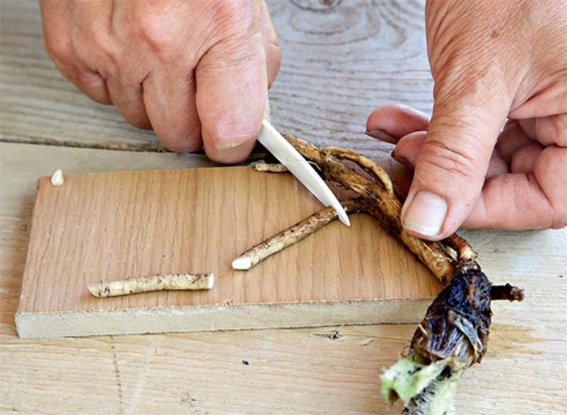 Приготовление корневых черенков