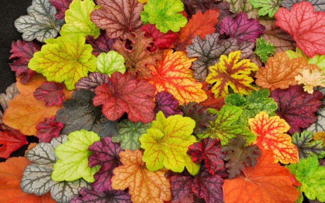 Разнообразие расцветок листьев гейхеры у разных сортов