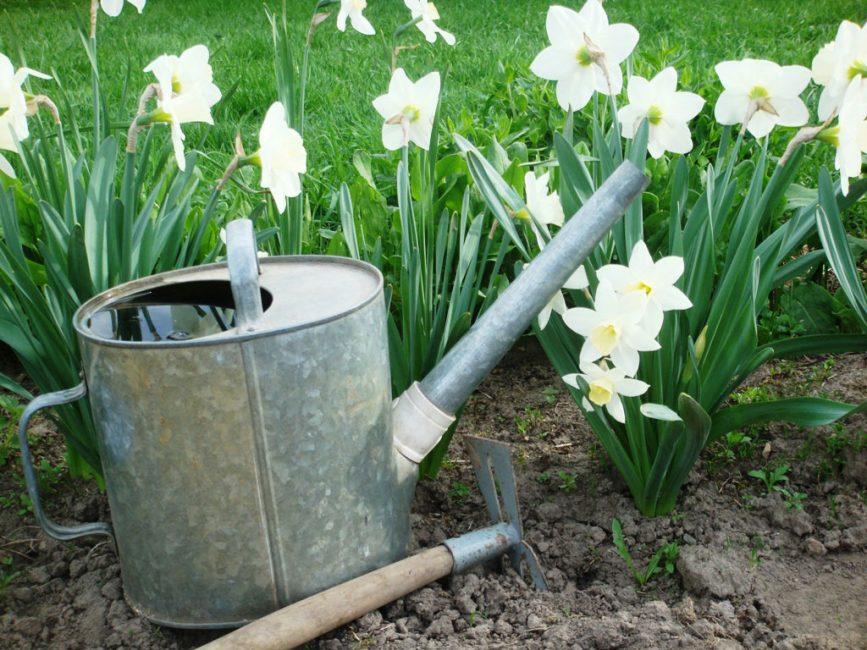 Растение влаголюбиво, но не переносит застоя воды в низинах садового участка